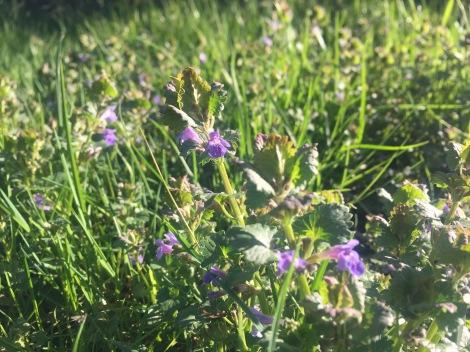 Gundermann in der Blüte