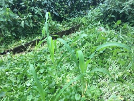 Maispflanze auf einem mit Gundermann überzogenen Beet